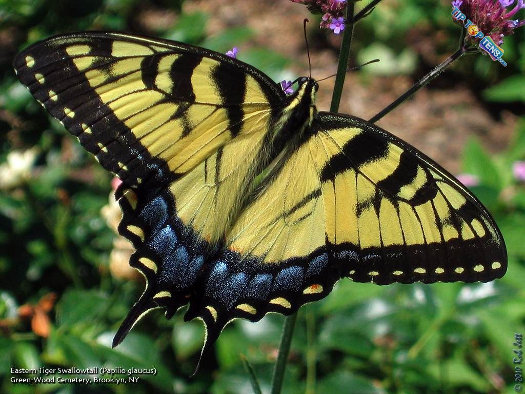Orchard Swallowtail 10 Most Beautiful Species of Butterflies