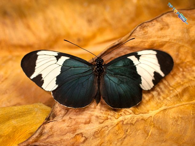 Sapho Longwing1 10 Most Beautiful Species of Butterflies