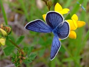 Silvery-Blue-Butterfly