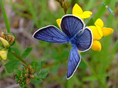 Silvery Blue Butterfly 10 Most Beautiful Species of Butterflies