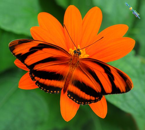 banded orange 10 Most Beautiful Species of Butterflies