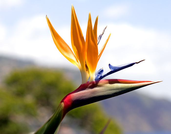 bird+of+paradise 10 Most Beautiful Flowers In The World