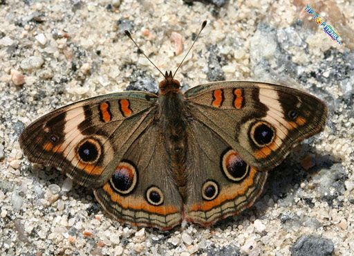 junonia coenia 10 Most Beautiful Species of Butterflies