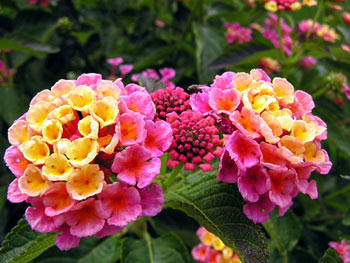lantana 10 Most Beautiful Flowers In The World