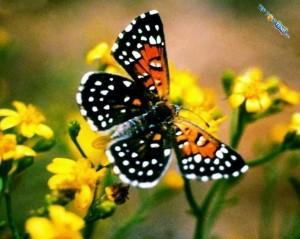 metalmark-butterfly