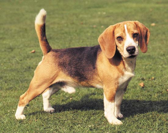 Beagles Top 10 Most Popular Dog Breeds In The World