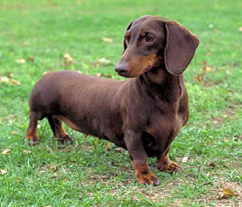 Dachshunds Top 10 Most Popular Dog Breeds In The World