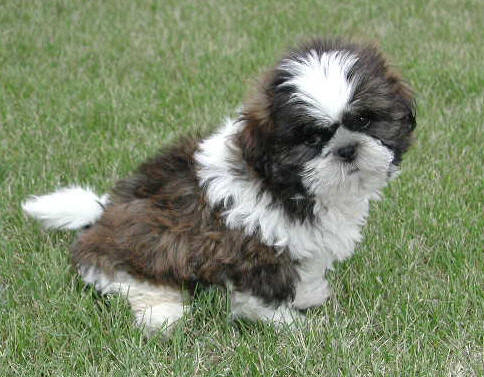 Shih Tzu Top 10 Most Popular Dog Breeds In The World