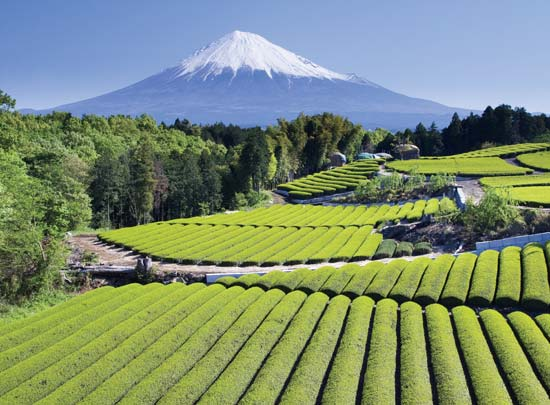 Tea Plants Top 10 Tea Producing Countries