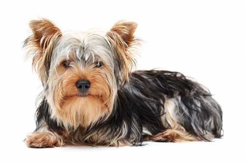 Yorkshire Terrier Top 10 Most Popular Dog Breeds In The World