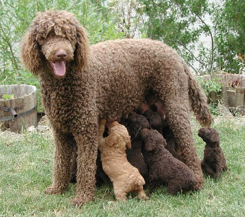 poodles Top 10 Most Popular Dog Breeds In The World