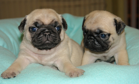 pugs Top 10 Most Popular Dog Breeds In The World