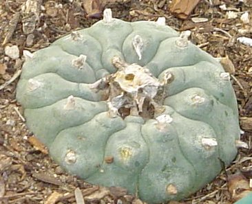 Peyote Top 10 Drugs That Used To Be Legal