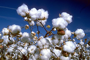 cotton Top 10 Cotton Producing Countries