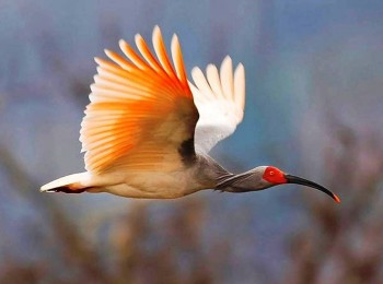 1. Asian Crested Ibis
