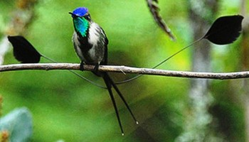 10. Marvellous Spatuletail e1319799094431 Top 10 Rarest Birds in the World
