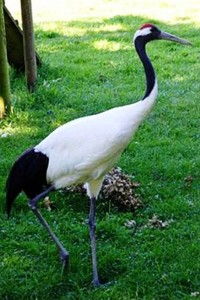2. Red Crowned Crane e1319799629422 Top 10 Rarest Birds in the World