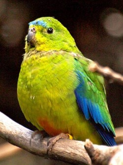 3. Orange Bellied Parrot e1319799575970 Top 10 Rarest Birds in the World