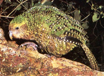 4. Kakapo e1319799501462 Top 10 Rarest Birds in the World