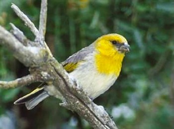 6. Palila e1319799361824 Top 10 Rarest Birds in the World