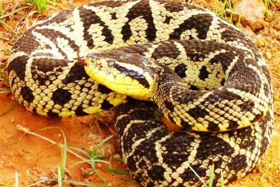 10. Jararacussu Top 10 Most Dangerous Snake Species