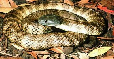 9. Tiger Snake Top 10 Most Dangerous Snake Species