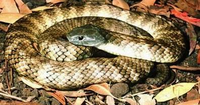 9. Tiger Snake Top 10 Most Dangerous Snake Species