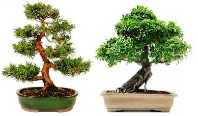 5. Bonsai 10 Best Gifts under $20