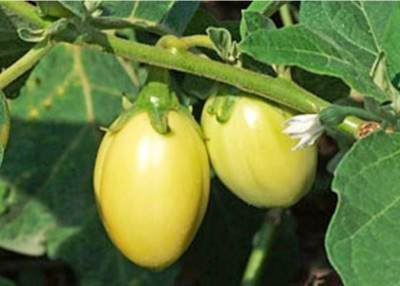 4. African Eggplant e1334851669916 10 Lesser Known Fruits and Vegetables