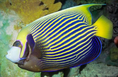 10. Emperor Angelfish e1339751958913 Top 10 Most Beautiful Underwater Animals
