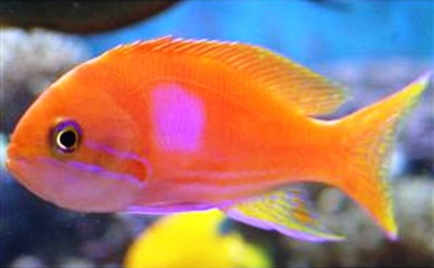2. Squareback Anthias e1339751833214 Top 10 Most Beautiful Underwater Animals