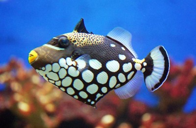 3. Clown Triggerfish e1339751848793 Top 10 Most Beautiful Underwater Animals