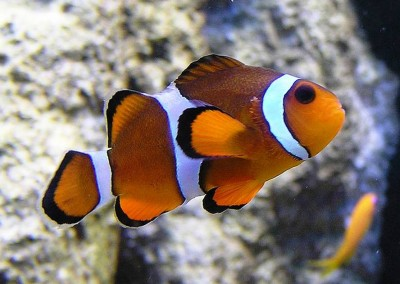 5. Clown Fish e1339751876453 Top 10 Most Beautiful Underwater Animals