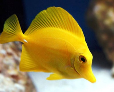 6. Yellow Tang e1339751893223 Top 10 Most Beautiful Underwater Animals