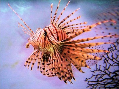 8. Lion fish e1339751931129 Top 10 Most Beautiful Underwater Animals