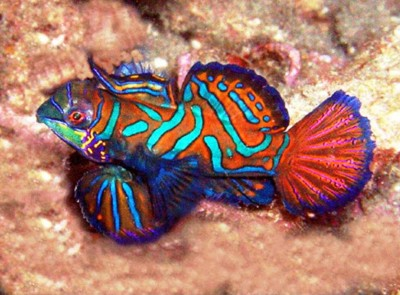 9. Mandarin fish e1339751944203 Top 10 Most Beautiful Underwater Animals