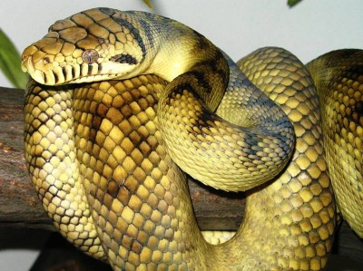 3. Scrub Phyton – 26 feet e1341308451925 Top 10 Largest Snakes in the World