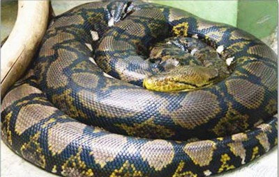 4. Reticulated Phyton 25 feet e1341308465947 Top 10 Largest Snakes in the World