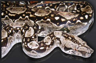 7. Boa Constrictor 3 13 feet e1341308508973 Top 10 Largest Snakes in the World