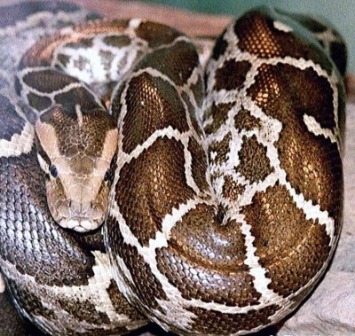 9. Indian Python 7.9 to 9.8 feet e1341308537977 Top 10 Largest Snakes in the World