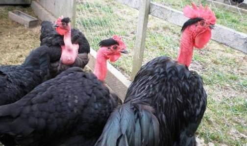 1. The Naked Neck Top 10 Weirdest Chicken Breeds
