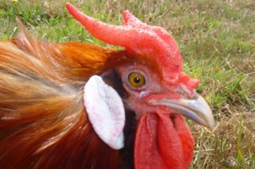 2. The La Fleche Top 10 Weirdest Chicken Breeds