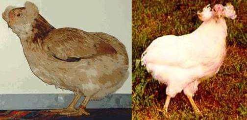 7. The Araucana Top 10 Weirdest Chicken Breeds
