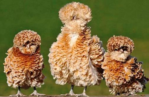 8. The Frizzle Top 10 Weirdest Chicken Breeds
