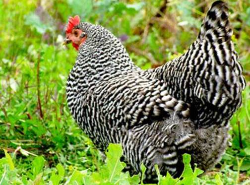 9. The Plymouth Rock Top 10 Weirdest Chicken Breeds