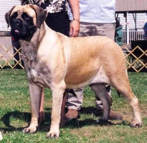 1. English Mastiff e1349249905656 Top 10 Biggest Dog Breeds in the World