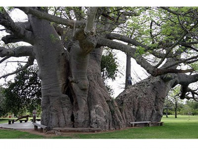 1. Sunland Baobab e1349772746102 Top 10 Oldest Trees in the World