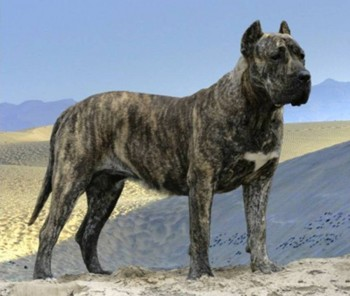 10. Perro de Presa Canario e1349250019747 Top 10 Biggest Dog Breeds in the World