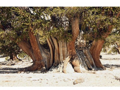 10. The Patriarch e1349773368589 Top 10 Oldest Trees in the World