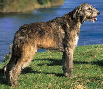 3. Irish Wolfhound e1349249929659 Top 10 Biggest Dog Breeds in the World